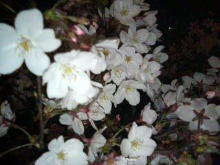 桜の花の咲く頃に